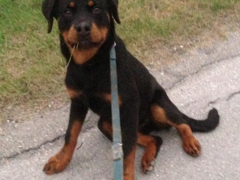 Cuccioli di rottweiler di 6 mesi. Parma id. 14995