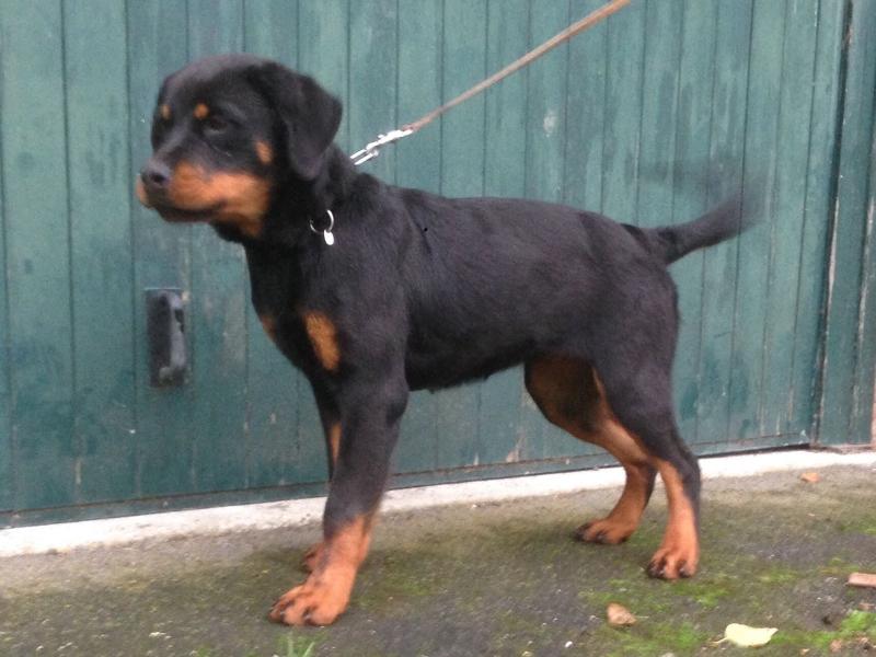 Cuccioli di rottweiler di 6 mesi. Parma - Annunci Zampettando