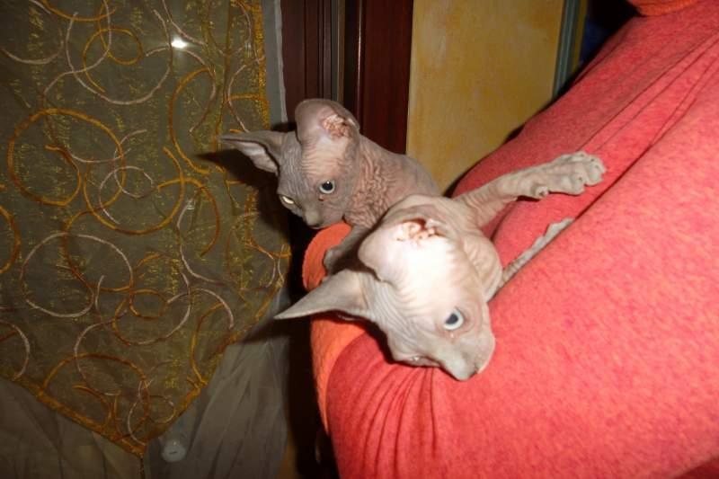 Cuccioli Sphynx in regalo Bologna - Annunci Zampettando