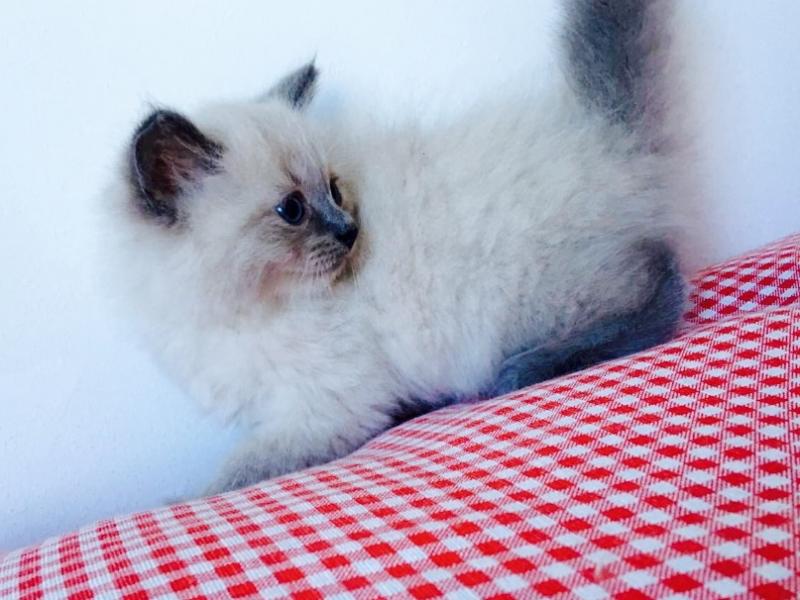 gattini siberiani antiallergici Bologna - Annunci Zampettando