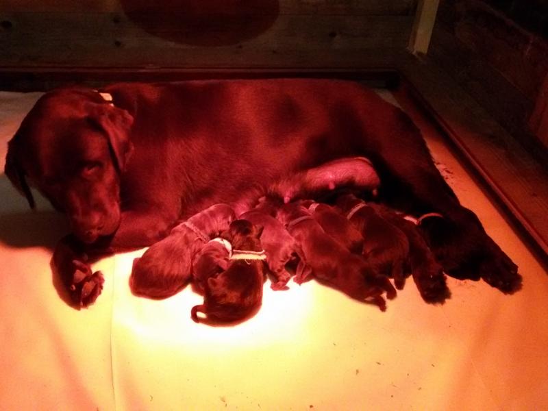 Cuccioli labrador con pedigree pronti a Natale! Bologna - Annunci Zampettando