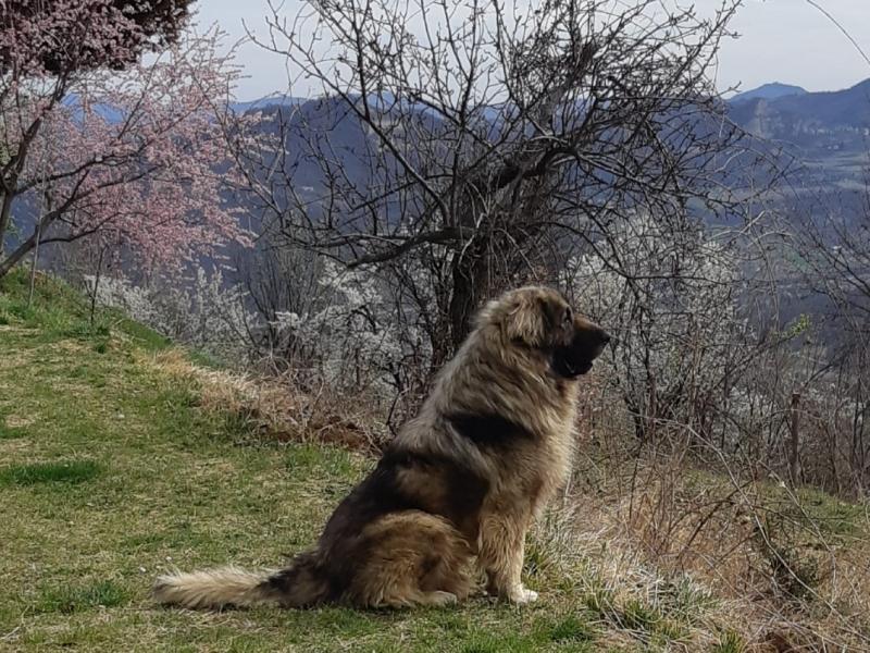 Cuccioli pastore della Ciarplanina -cane pastore da guardia  Bologna id. 17025
