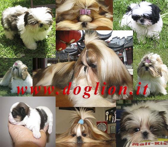 cuccioli di Shih Tzu Ferrara id. 14483
