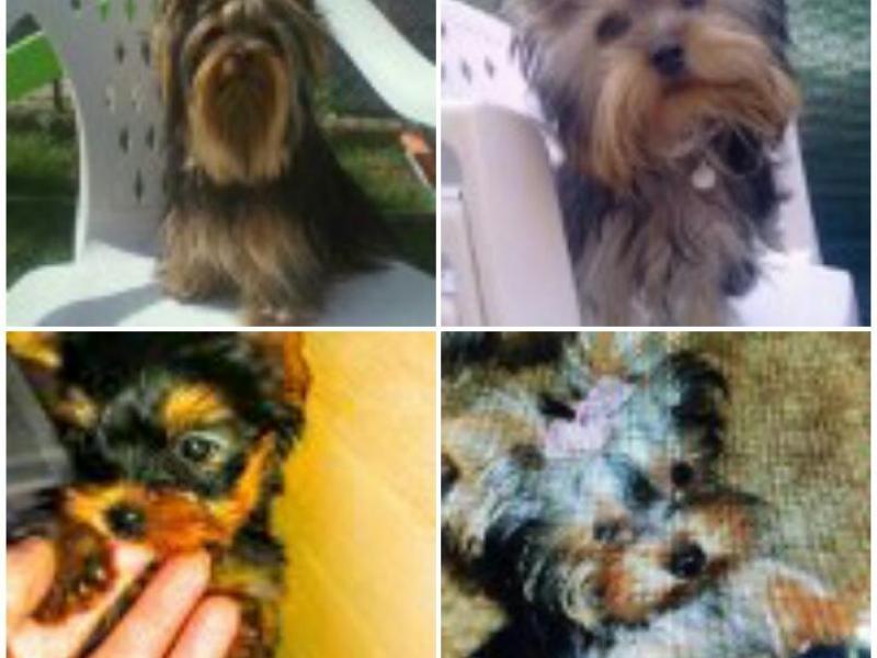 Cuccioli di Yorkshire terrier toy Ravenna - Annunci Zampettando