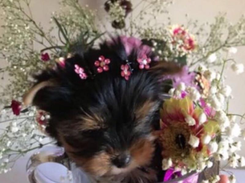 mini mini yorkshire toy Ravenna - Annunci Zampettando