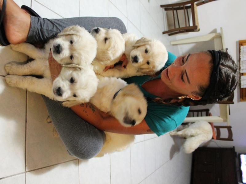Vendesi cuccioli di golden retriever maschi con pedigree Forli-Cesena - Annunci Zampettando