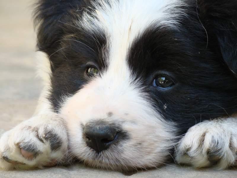 disponibili cuccioli di Border Collie! Forli-Cesena id. 16185