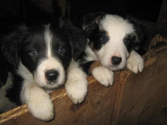 cuccioli di border collie Firenze - Annunci Zampettando