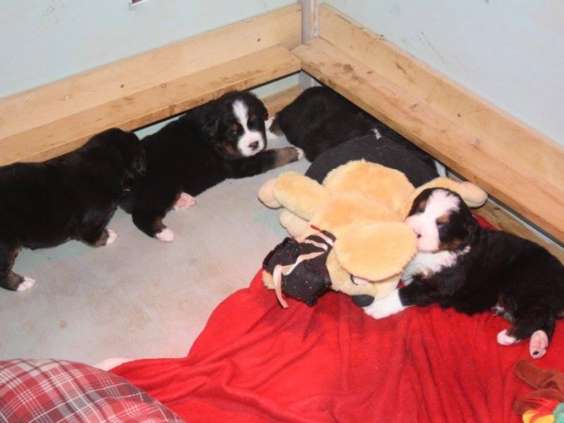 Cuccioli di Bovaro del Bernese disponibili 3 maschi e 3 femmine. Pisa - Annunci Zampettando
