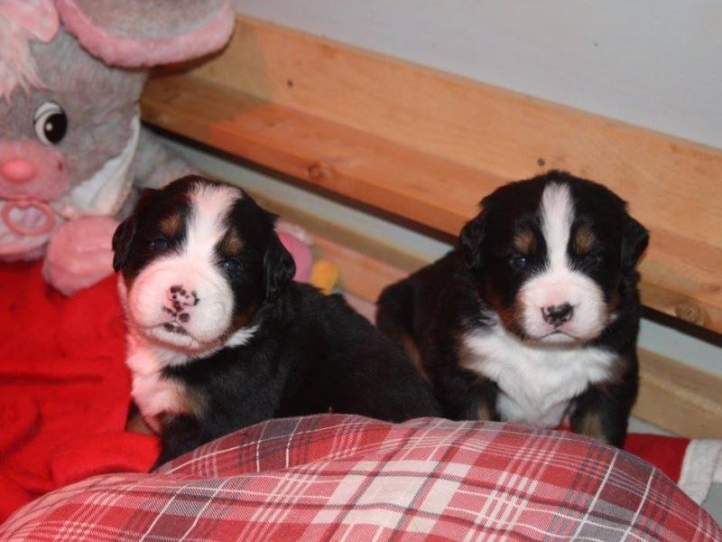 Cuccioli di Bovaro del Bernese disponibili 3 maschi e 3 femmine. Pisa id. 15458