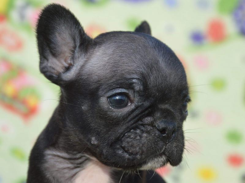 Cuccioli di Bulldog Francese  Siena - Annunci Zampettando