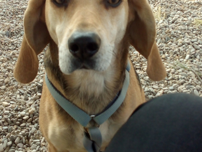 Olivia mix beagle-Segugio  Grosseto id. 16590