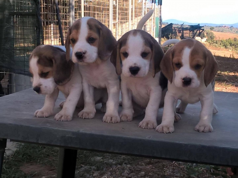 vendita cuccioli Grosseto - Annunci Zampettando