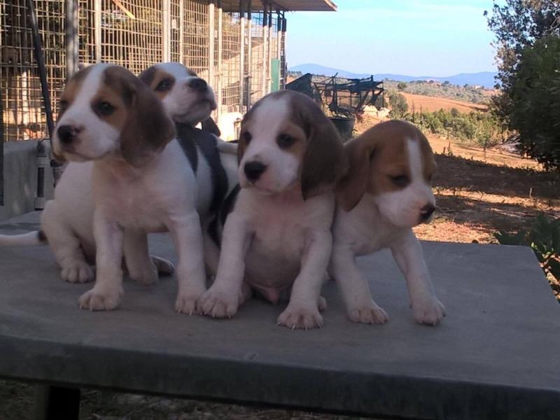 vendita cuccioli Grosseto id. 16170