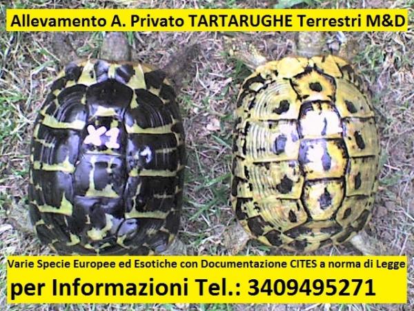 Allevamento A. Privato TARTARUGHE Terrestri M&D Taranto - Annunci Zampettando