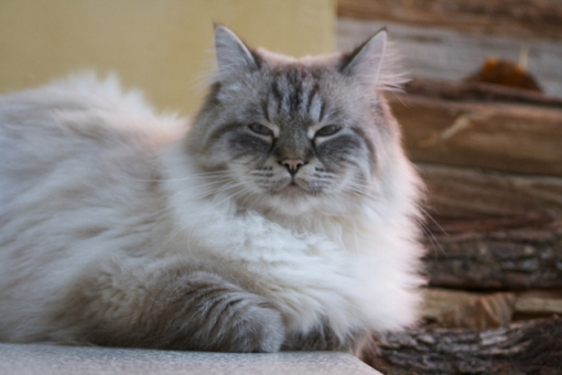 Allevamento del gatto siberiano Franciacorta Felix Brescia id.